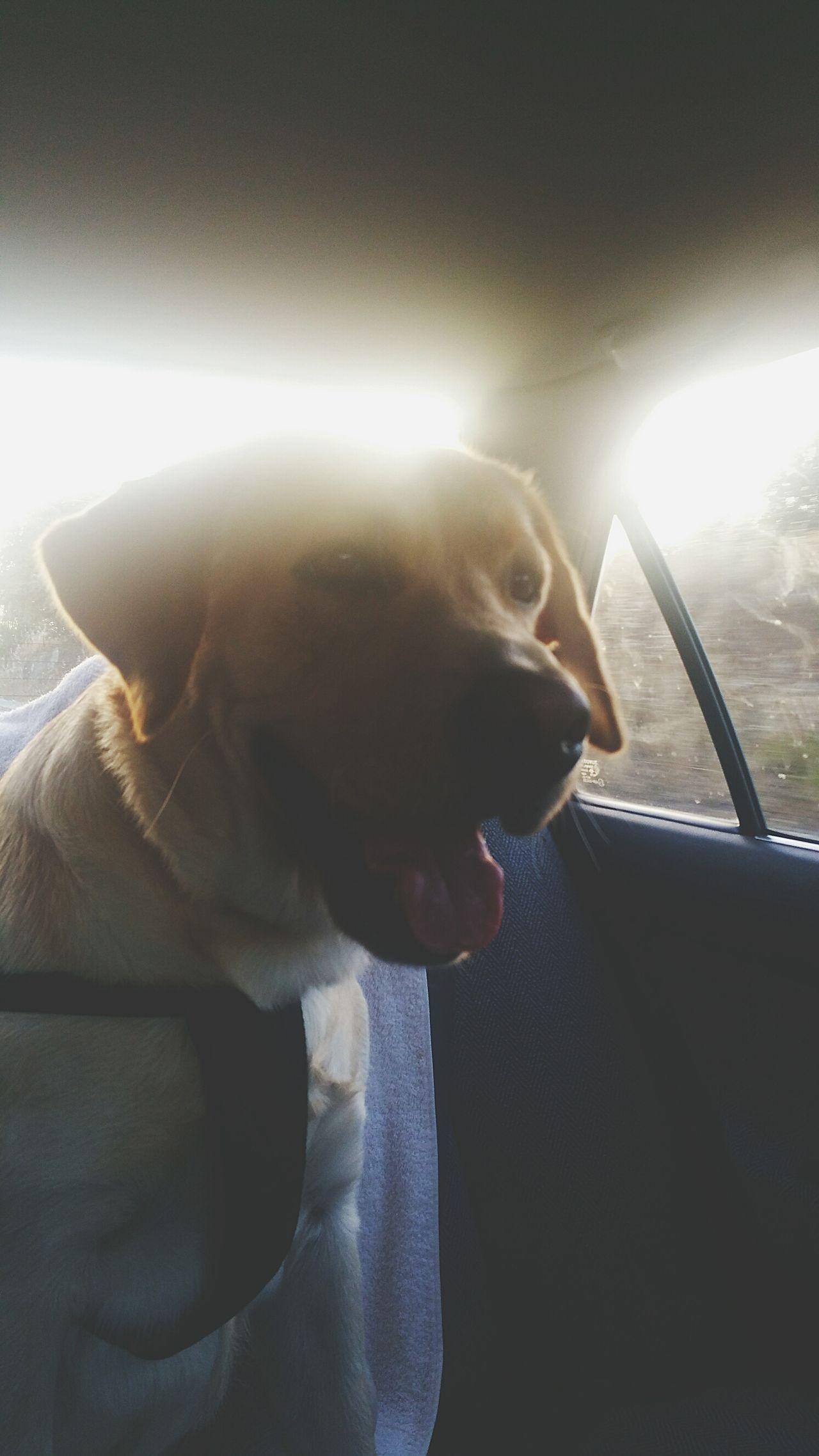 My true love 💕 Road Trip Sunset Love Of My Life Best Friend Simba Labrador Best Friends Dog Cumplicity