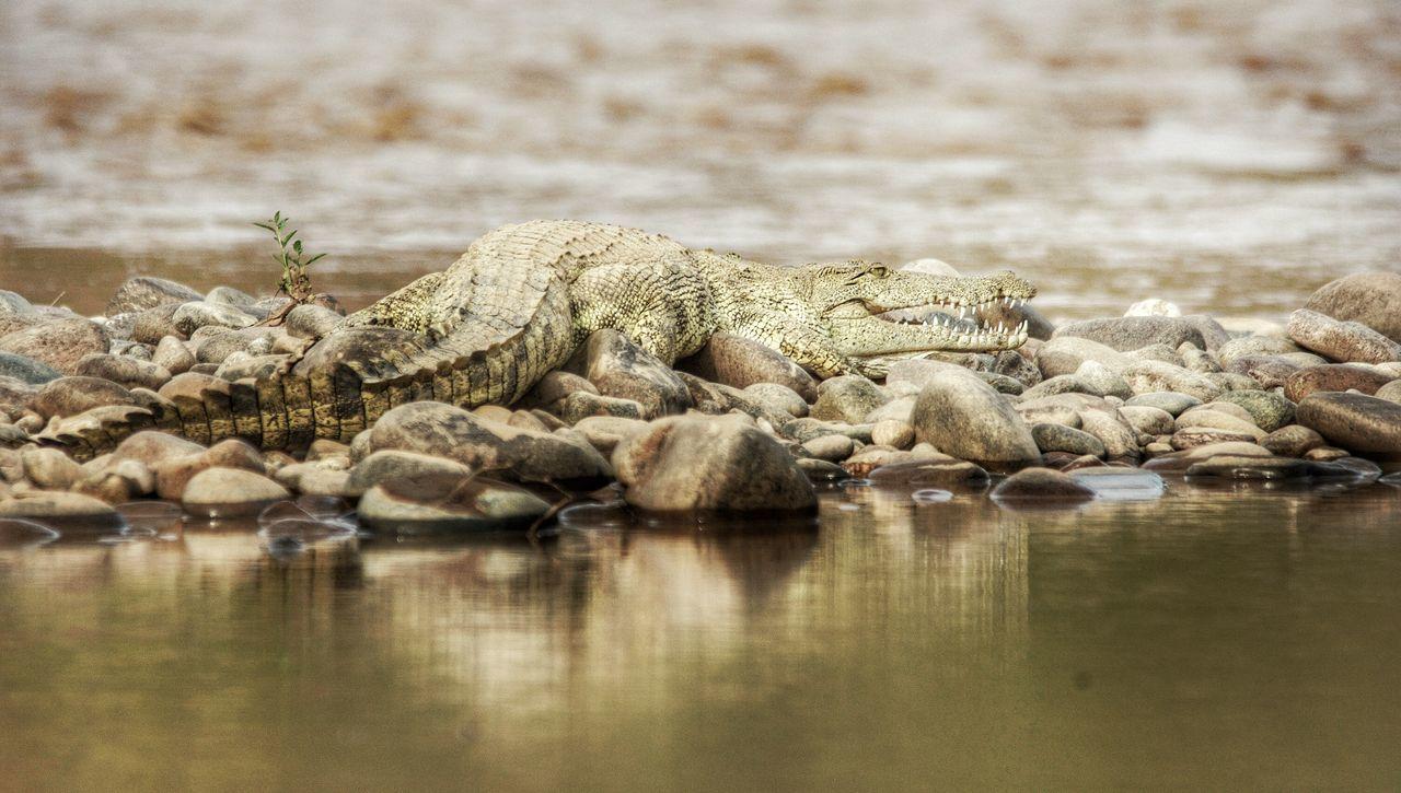 Sunbathing croc on the Kunene River, Namibia - Angola Border Namibia Wildlife & Nature