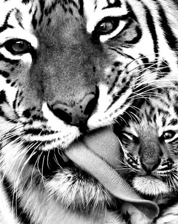 Photography World Cute Photo Photooftheday Photographer Animals Zoo Sauvage Lion Nature Nature Photography Nature_collection Naturelovers