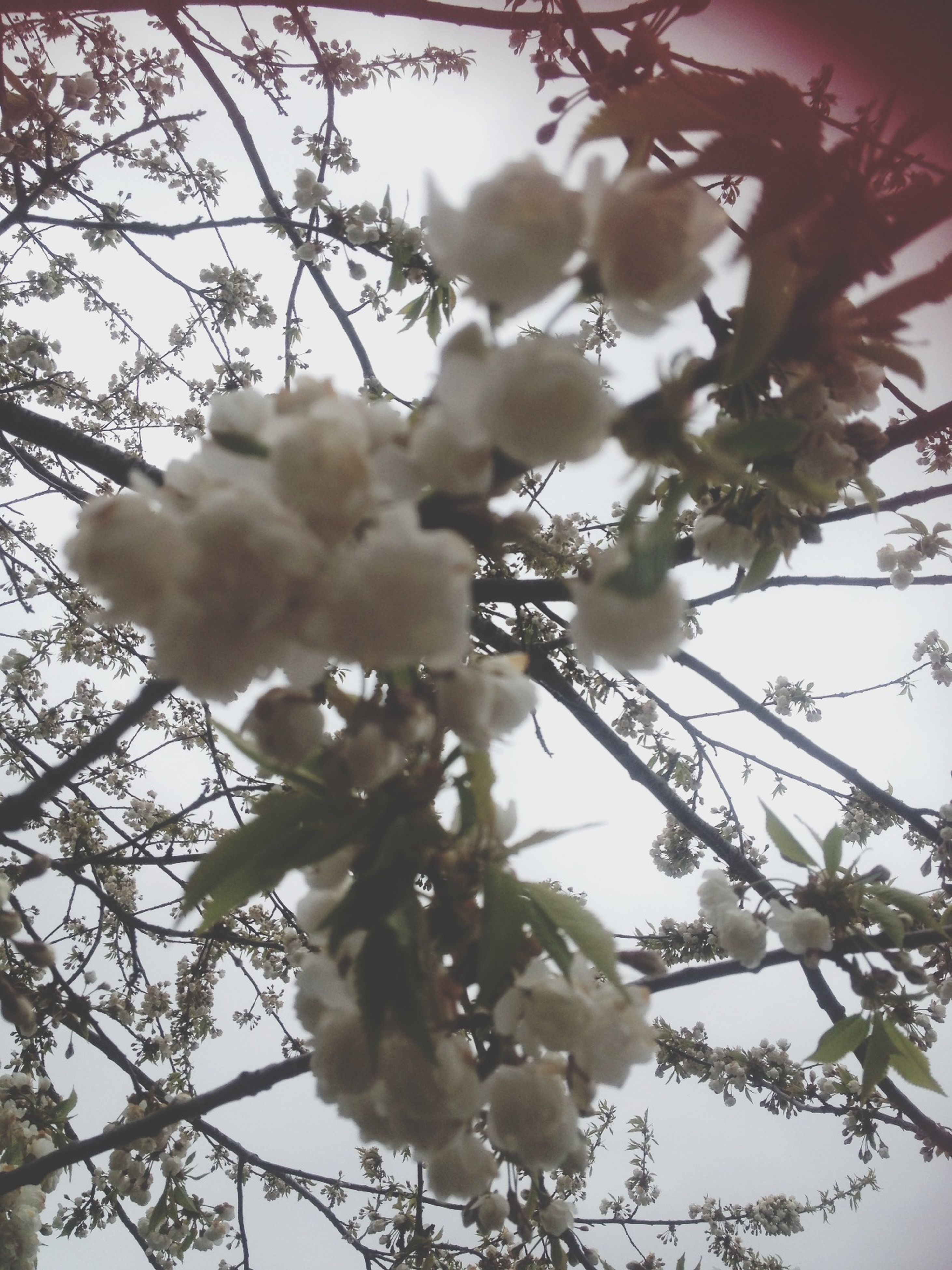 low angle view, flower, tree, branch, growth, freshness, nature, beauty in nature, fragility, sky, focus on foreground, day, close-up, outdoors, no people, twig, blossom, springtime, white color, blooming