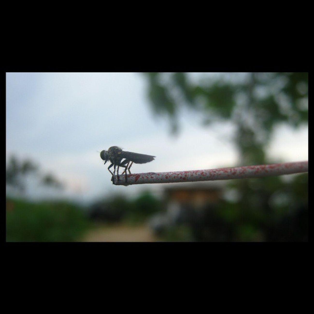 [ nyamuk ] Insecta Insectagram Igelinesia INDONESIA instanusantara indonesia_nature_lover instanusantaranature instaanimal instagood picoftheday photooftheday webstagram statigram waykanan lampung igelinesia nature natureskingdom