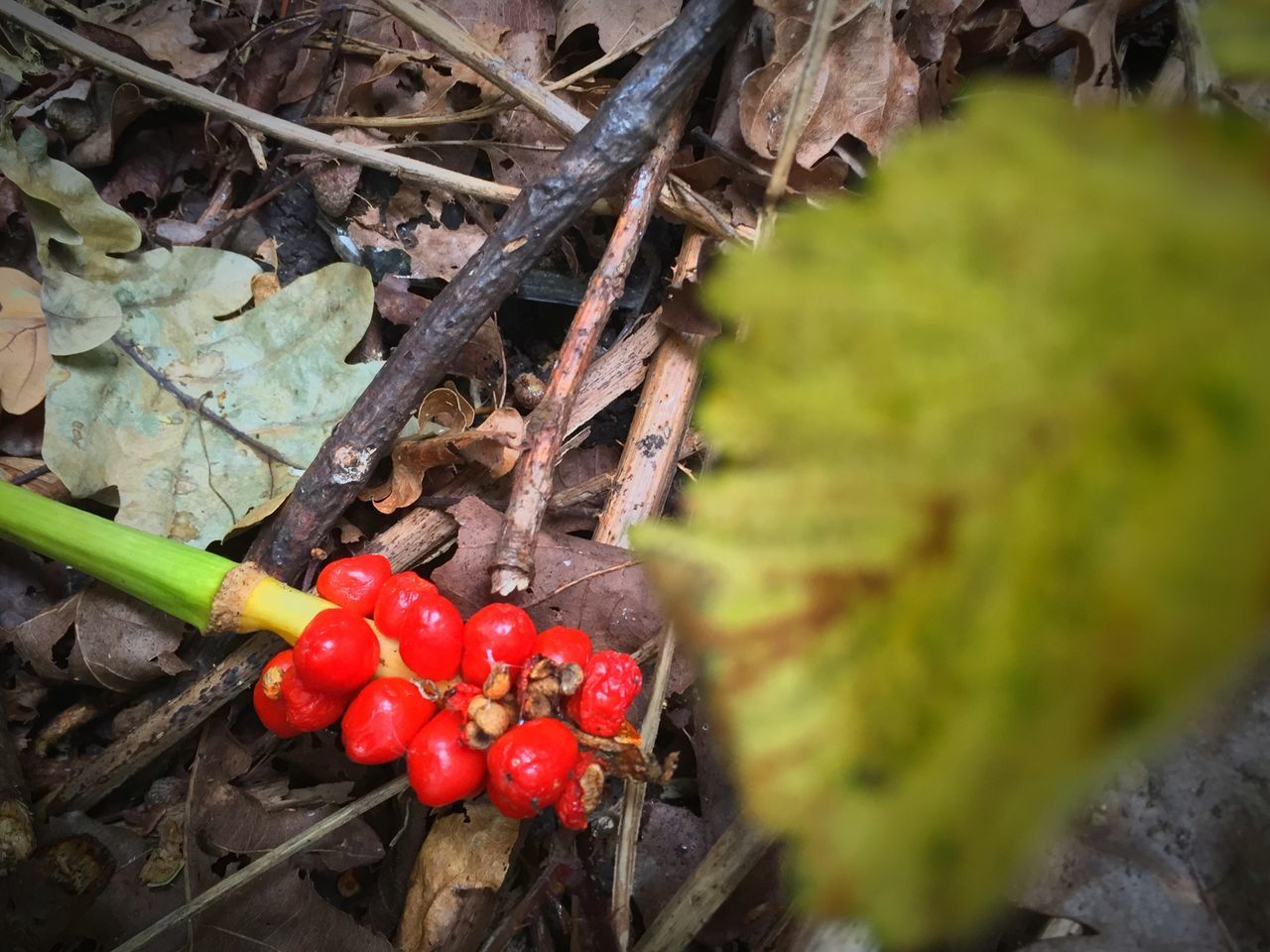 growth, red, food and drink, green color, nature, leaf, plant, day, outdoors, close-up, no people, freshness, food, fruit, tree, beauty in nature