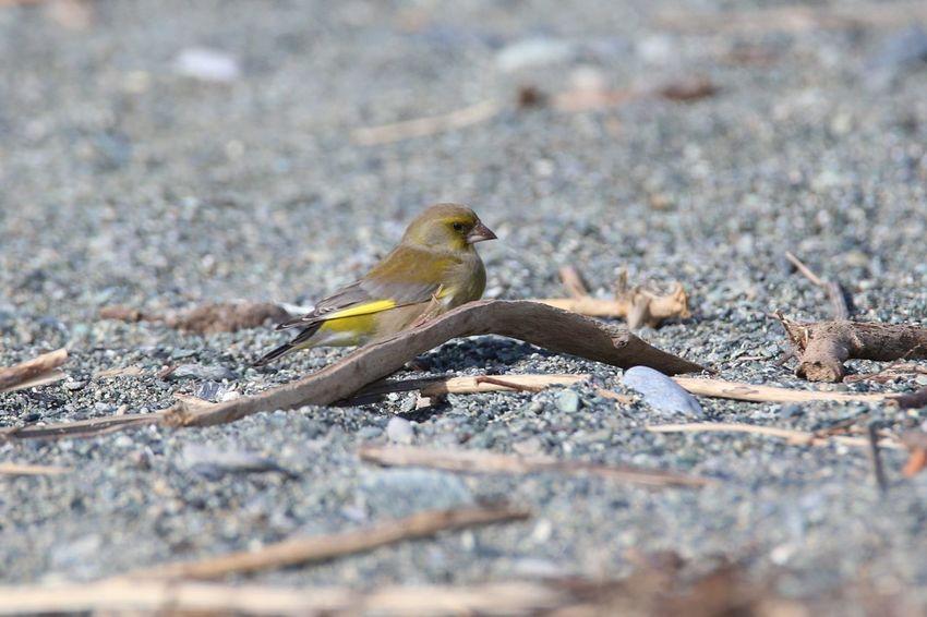 Birdwatching Bird Animals In The Wild Verdone Chloris Chloris