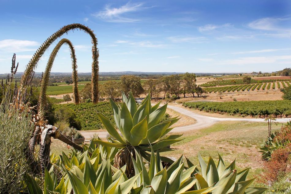 Vineyards across the Barossa Valley South Australia Australian Landscape Barossa Valley Beauty In Nature Cactus Day Field Green Color Growth Landscape Nature No People Outdoors Plant Rural Scene Scenics Sky Tranquility Tree Vines Vineyard