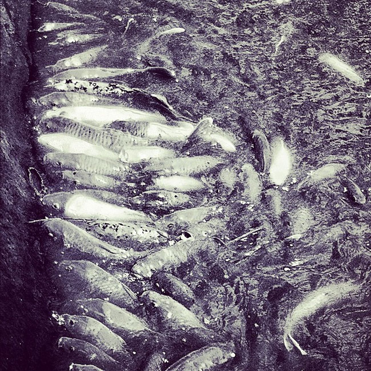 Koi Doleplantation Instagram Hawaii iphoneography oahu northshore instaview blackandwhite