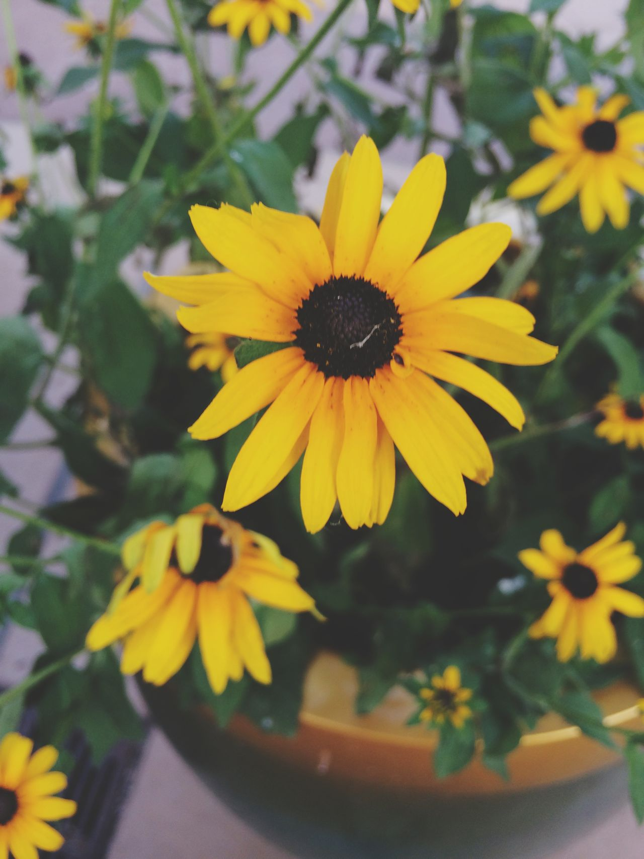 Beautiful stock photos of texas, Beauty In Nature, Black-Eyed Susan, Day, Flower