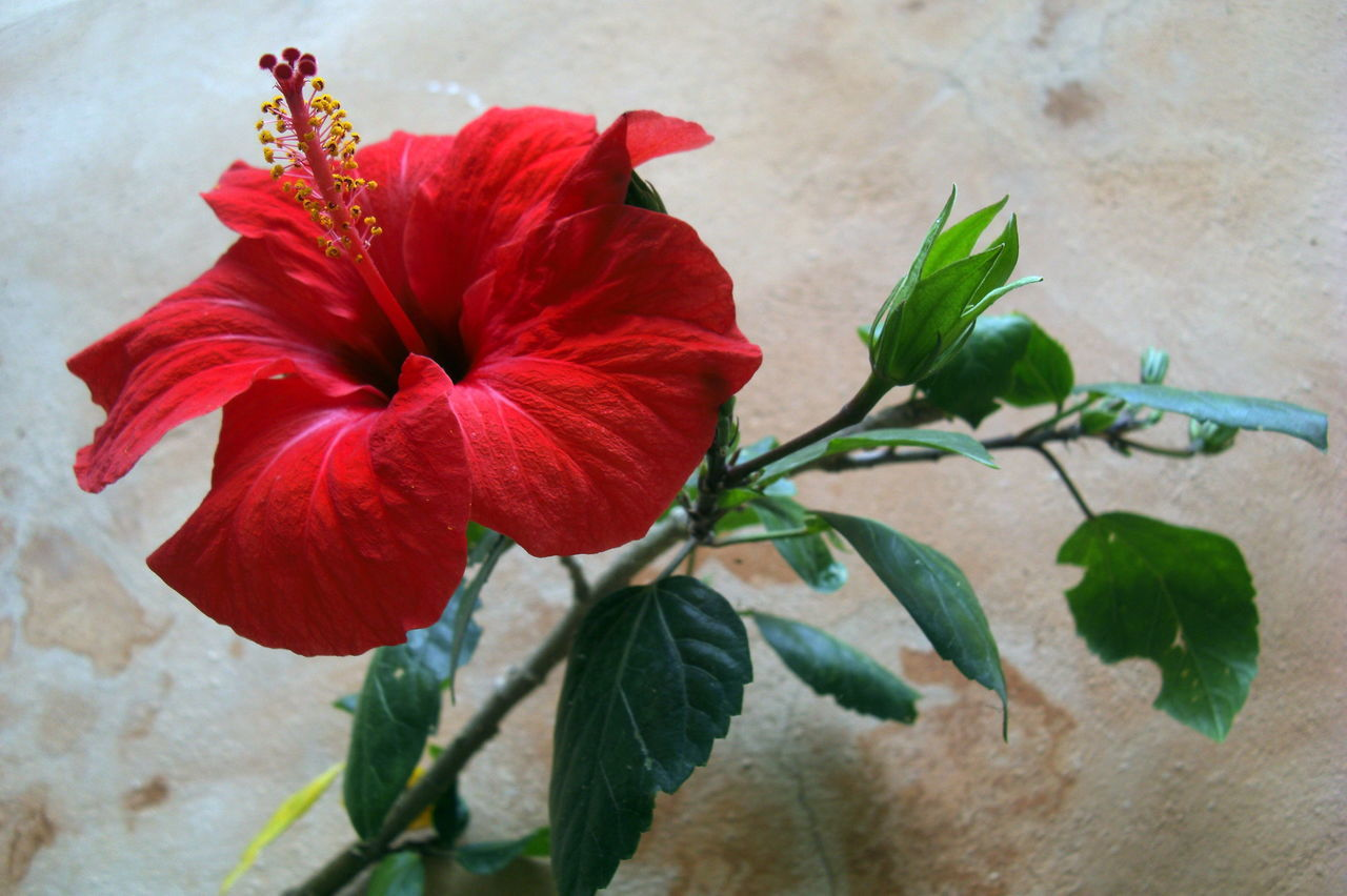 leaf, flower, plant, petal, red, growth, freshness, fragility, no people, flower head, nature, close-up, beauty in nature, day, outdoors, hibiscus