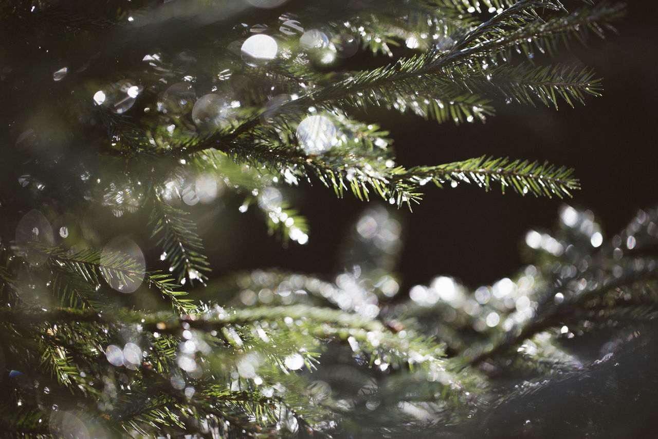 After The Rain Beauty In Nature Bokeh Bokehlicious Branch Christmas Close-up Detail Details Of Nature Drops Of Water Fir Tree Fragility Freshness Growth Lens Flare Nature Nature Photography Tree Waterdrops