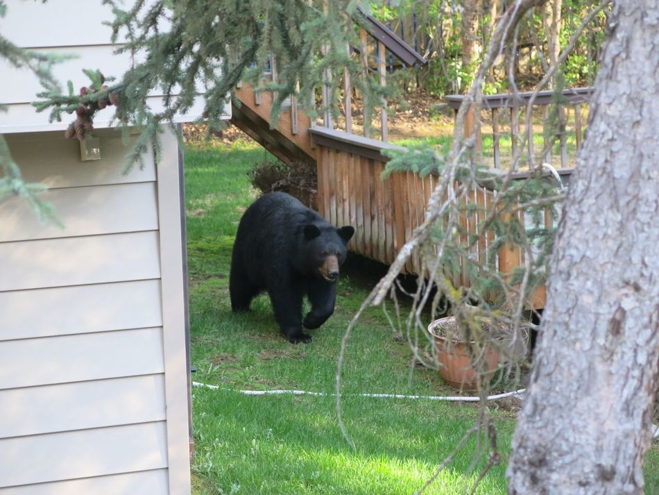 Beautiful stock photos of bear, Anchorage, Animal Themes, Animals In Captivity, Animals In The Wild