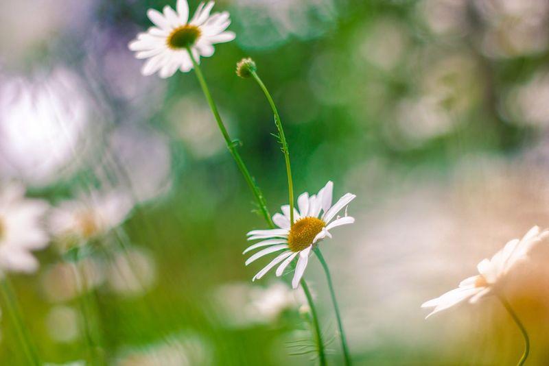Beauty In Nature Botany Flower Nature No People White Color венок веночек из цветов весна девушка нежность Ромашки цветы цветы🌸🌼🌻💐🌾🌿 юность
