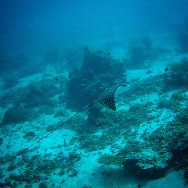 INDONESIA Bali Giliair Scubadiving Eagleray Majestic