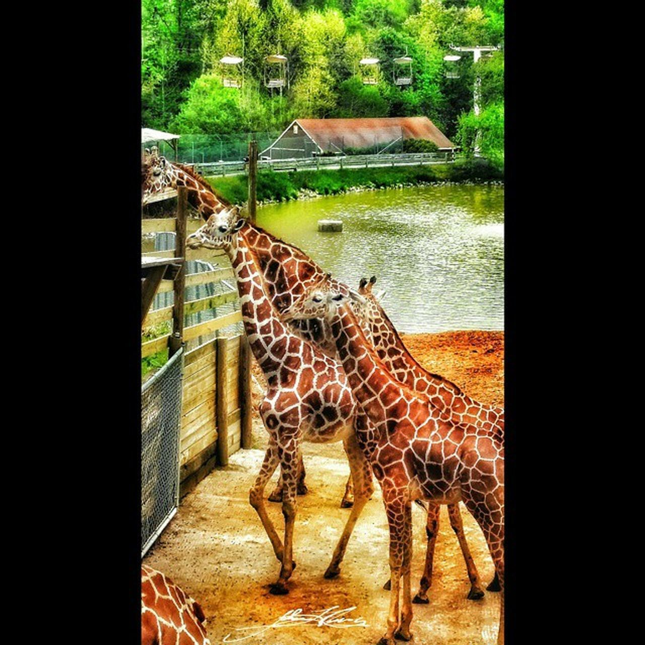 Squareinstapic Colorful Food HDR Nature Petsandanimals Photography Spring Pettingzoo Richmondmetrozoo Giraffes Zooanimals Wildlife FamilyTime Giraffesarecool Richmondmetrozoo Feedinggiraffes