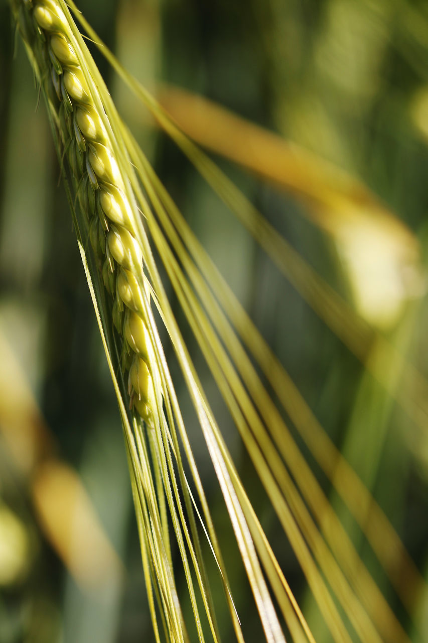 growth, nature, close-up, no people, focus on foreground, cereal plant, day, outdoors, wheat