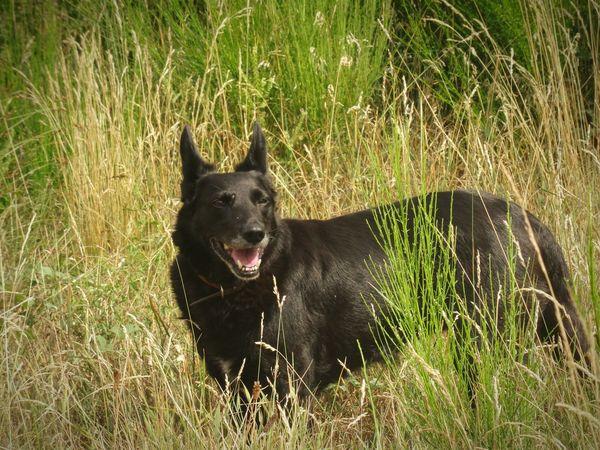 BlackDog Gaia Sobeautiful Sonice Perfectdog Tongue Hanging Out! :) Heat Summer On A Walk High Grass Yellowgrass
