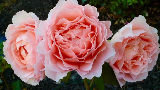 Peach Rose Trilogy Beauty In Nature Blooming Blossom Botany Close-up Day Flower Flower Head Focus On Foreground Fragility Freshness Growth In Bloom Natural Pattern Nature No People Outdoors Peach Rose Petal Pink Color Plant Rose - Flower Selective Focus Softness Trilogy