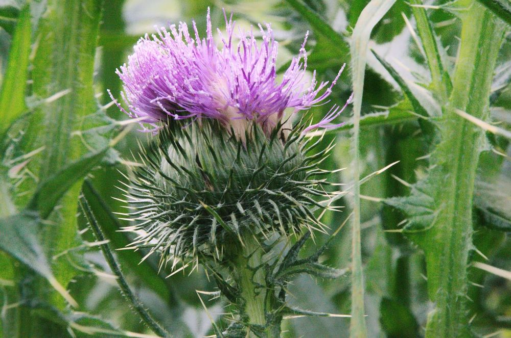 Growth Flower Fragility Close-up Nature Plant Beauty In Nature Freshness Focus On Foreground Thistle Spiked Green Color Thorn Purple Day In Bloom Botany Single Flower Flower Head Uncultivated AdamTurnerPhotography