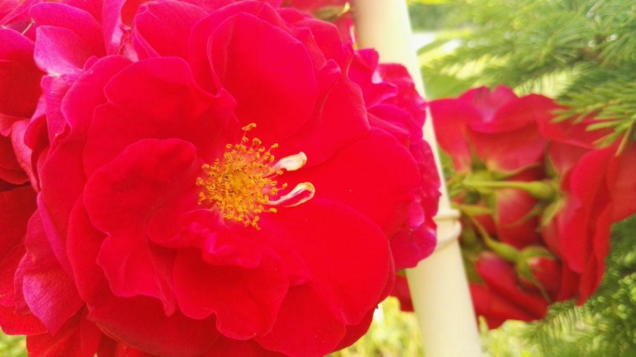 Rose🌹 Flower Red Rose