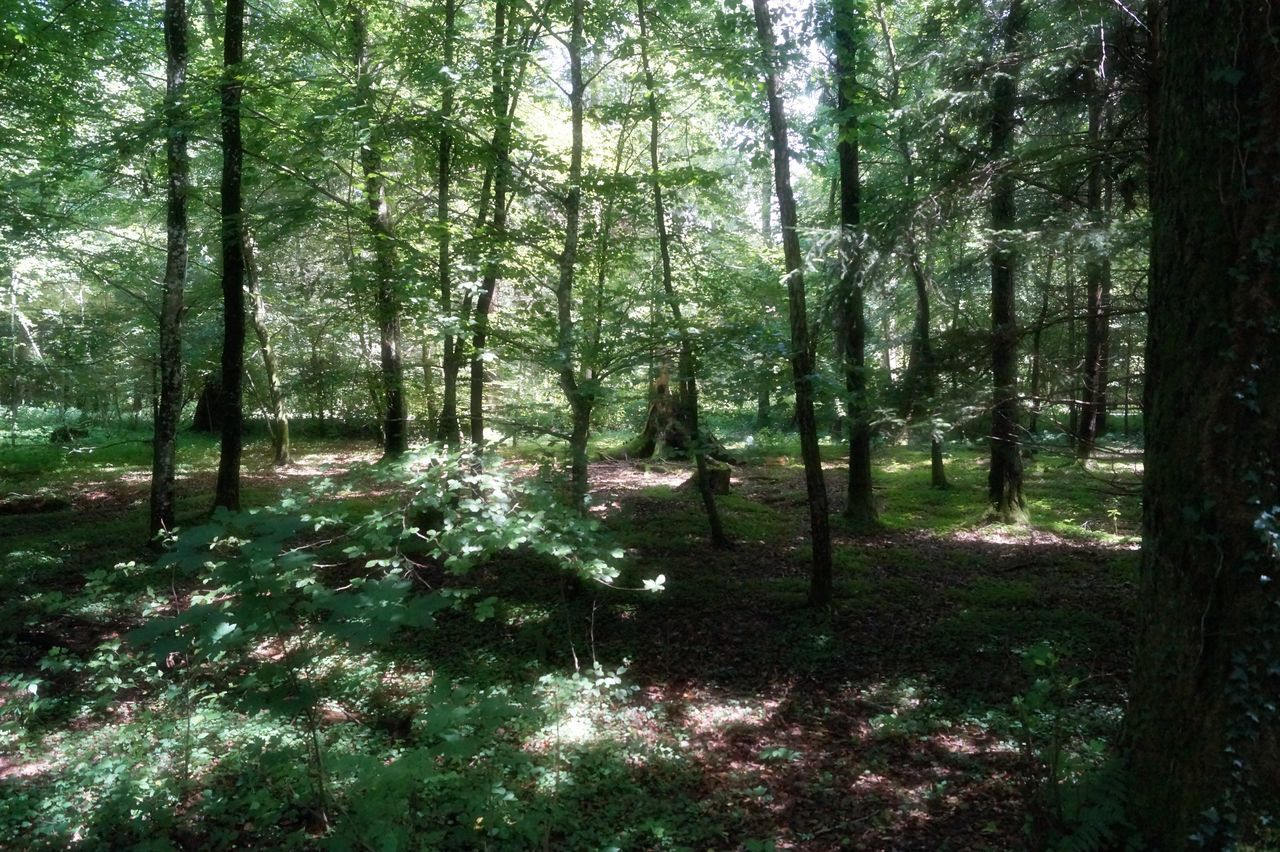 Beauty In Nature Forest Nature No People Outdoors Plant Tree Tree Trunk WoodLand Woods