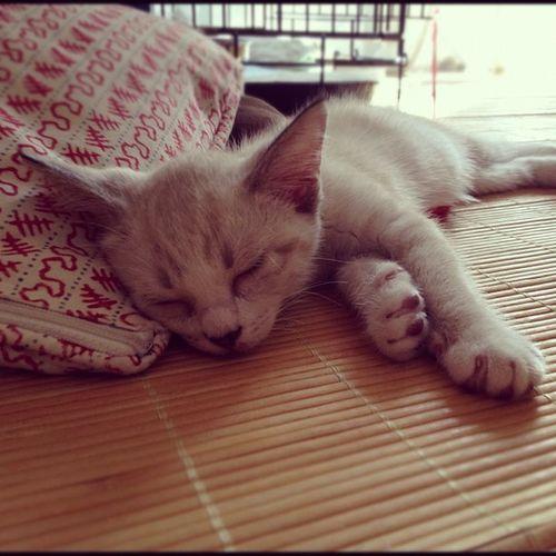 Nikoko Cat Neko  すぴぷぅ ねこ 猫 ネコ cats nico 今日の締めはニコでおやすみなさい…???