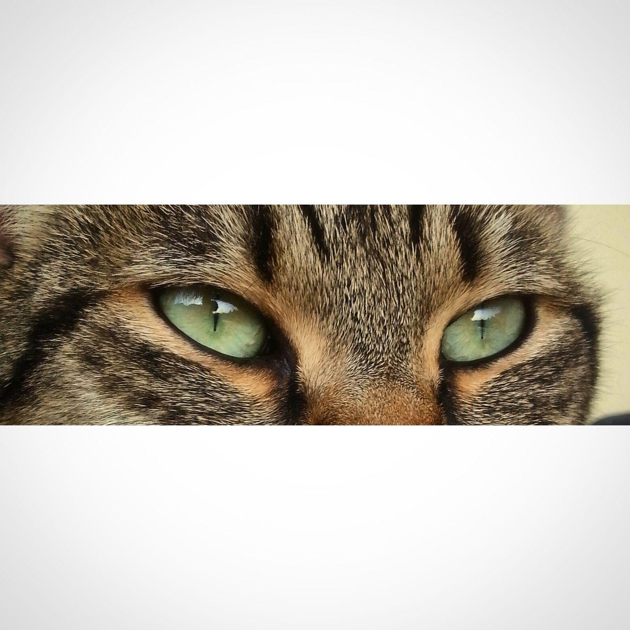 Cat Eyes Green Cute Pets Cat
