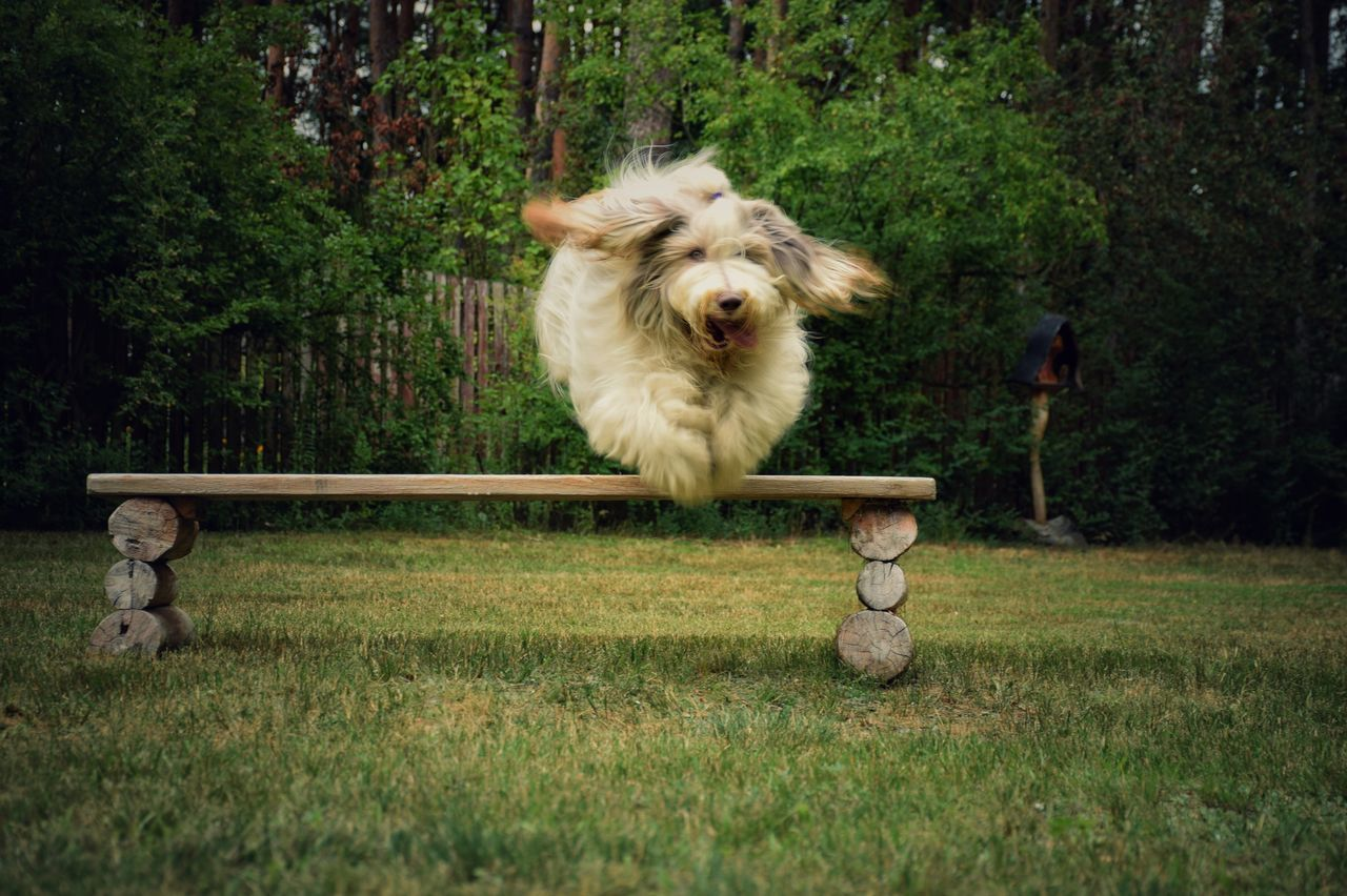 Bearded Collie Jumping On Grassy Field In Park