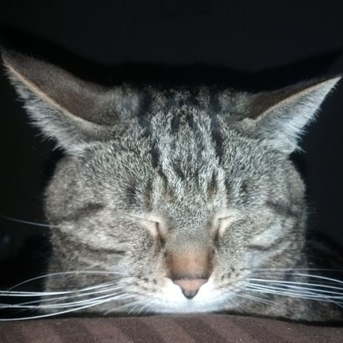Yadier...my napping buddy. Catlovers Cat Catsofinstagram Igcats tabby rescuepets stlouiscardinals