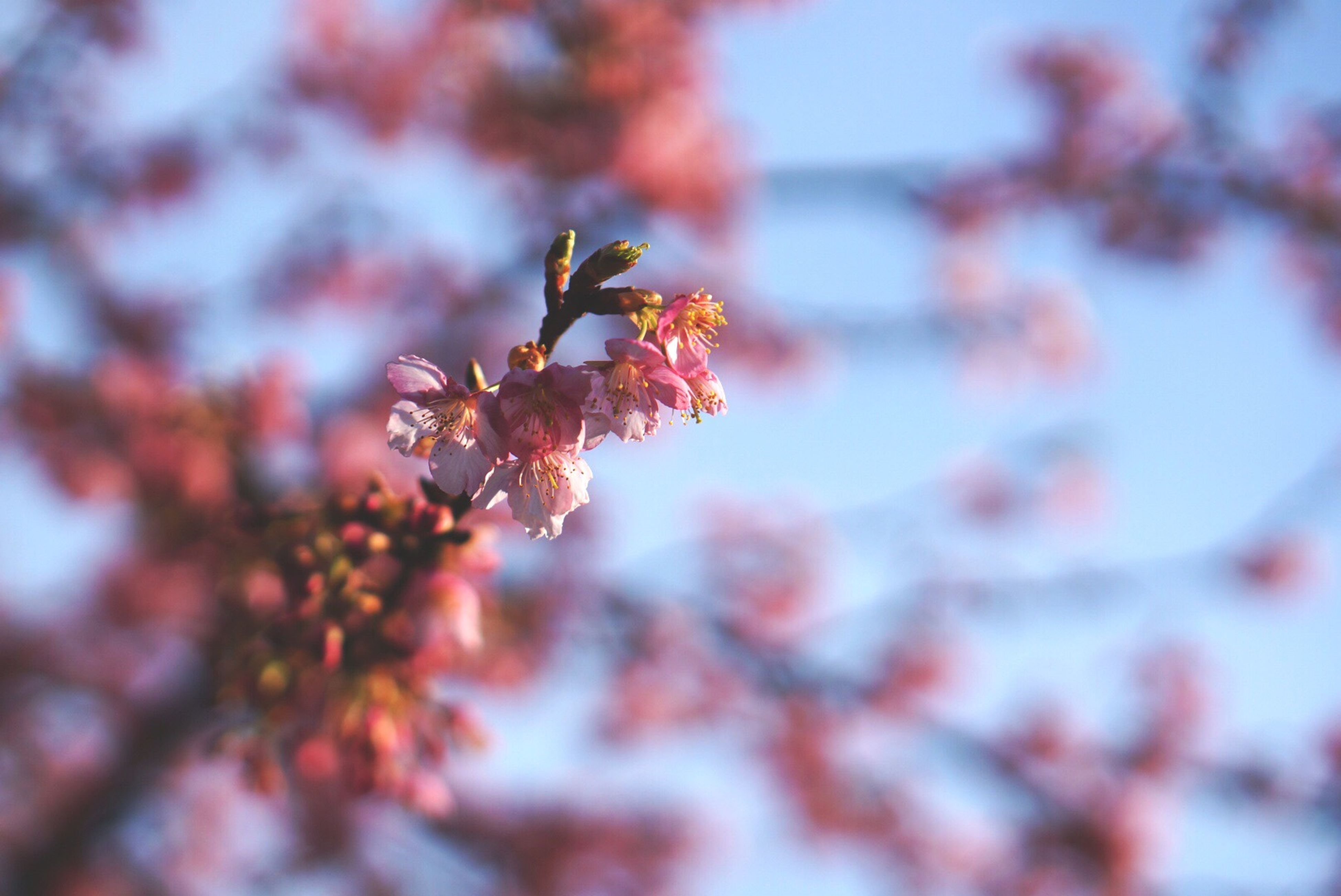 flower, freshness, growth, branch, tree, beauty in nature, fragility, nature, focus on foreground, blossom, close-up, low angle view, cherry blossom, pink color, cherry tree, selective focus, twig, in bloom, springtime, blooming