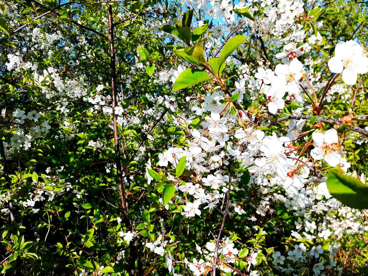 Growth Flower Nature Beauty In Nature Tree Blossom Branch Low Angle View Fragility Day Outdoors No People Springtime Freshness Close-up Kwiaty Bez Trees And Sky Drzewa