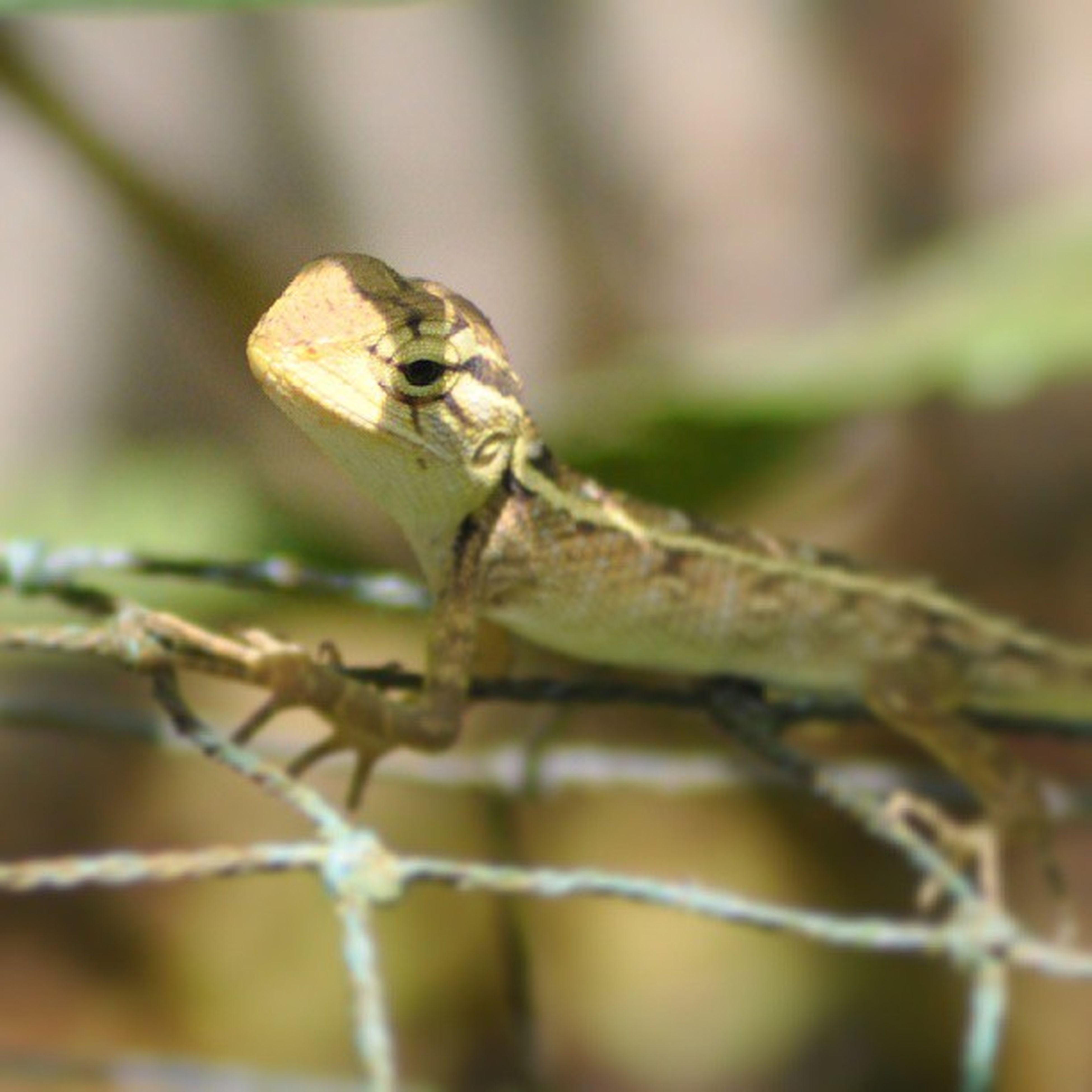 animal themes, one animal, animals in the wild, wildlife, focus on foreground, close-up, selective focus, insect, twig, nature, perching, branch, day, outdoors, full length, no people, side view, lizard, zoology, reptile