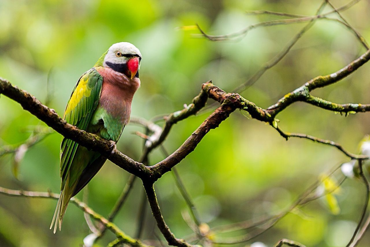 bird, animals in the wild, branch, animal wildlife, red, perching, nature, tree, no people, parrot, beauty in nature, one animal, animal themes, outdoors, day, close-up