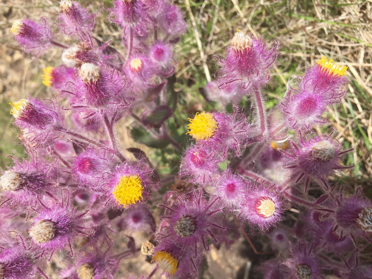 flower, purple, plant, nature, fragility, beauty in nature, growth, no people, flower head, day, outdoors, blooming, close-up, freshness, undersea
