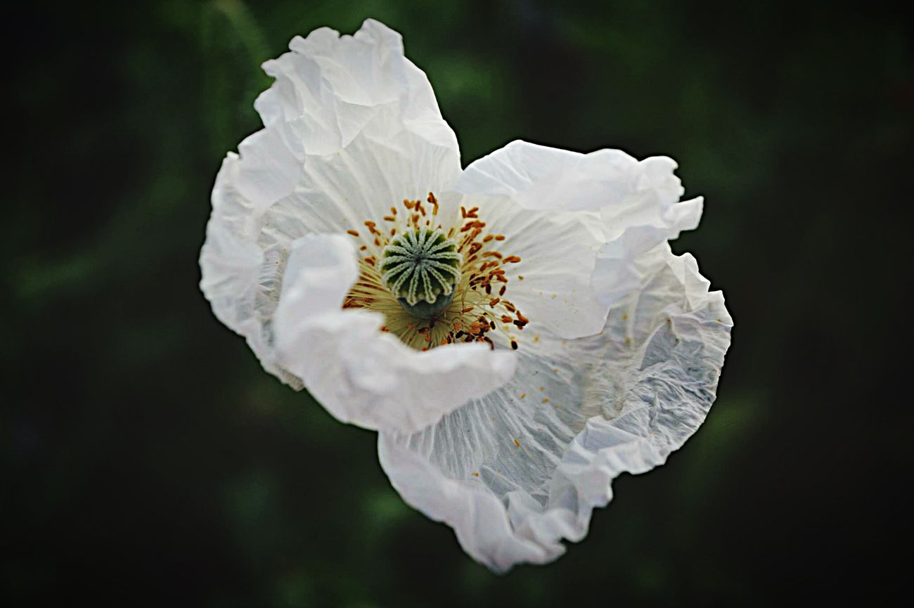 Fragile..... Photography Eye4photography  Tadaa Community EyeEm Love ♥ Needingyou Flower Flowerporn Summertime Hanging Out
