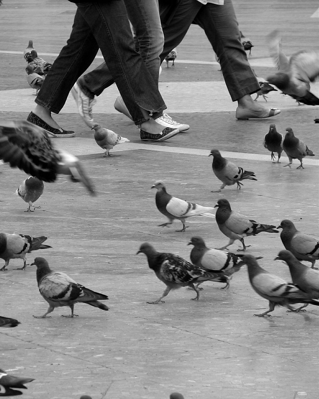 Pigeonslife Streetphotography Pigeons Eyeemphotography From My Point Of View Pigeons Everywhere Black And White Street Life Black And White Collection  Blackandwhite Photography Street Photography Eyemphotography EyeEm Gallery Birds_collection Birds Photography Check This Out Eye4photography  Animal Photography Walking Around Animals Citysquare City Life Walking Around The City  Taking Photos