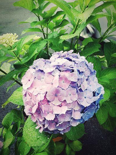 싱기하게도 한송인데 색은 하나가 아닌! Flowers 수국 꽃