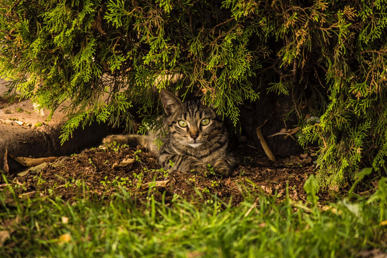 One Animal Domestic Cat Domestic Animals Looking At Camera Mammal Animal Themes Pets Nature Portrait No People Feline Grass Outdoors Day Tabby Cat Horizontal Leopard Cat Kedi Konya Konyagram