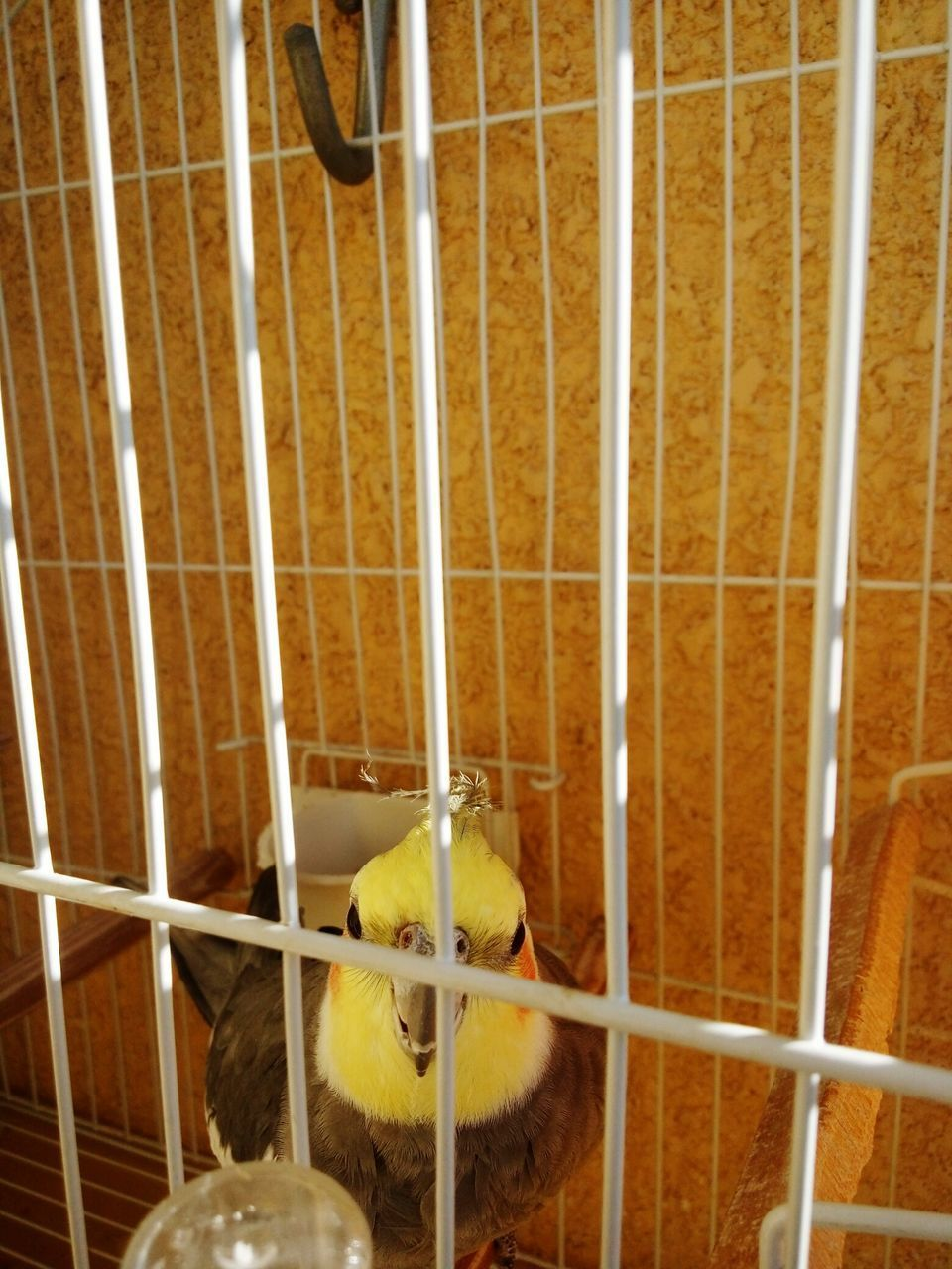 animal themes, cage, bird, domestic animals, birdcage, no people, one animal, young bird, animals in captivity, indoors, nature, yellow, trapped, day, close-up, mammal