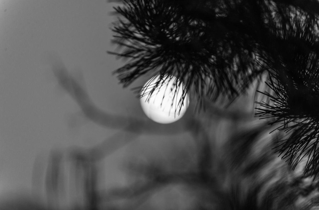 moonlingt Moon Moon Light Moon_collection Moonlight Moonphotography Moonshine Nature Nightmoon No People Pinetree Close Up Pinetree Moon Tree