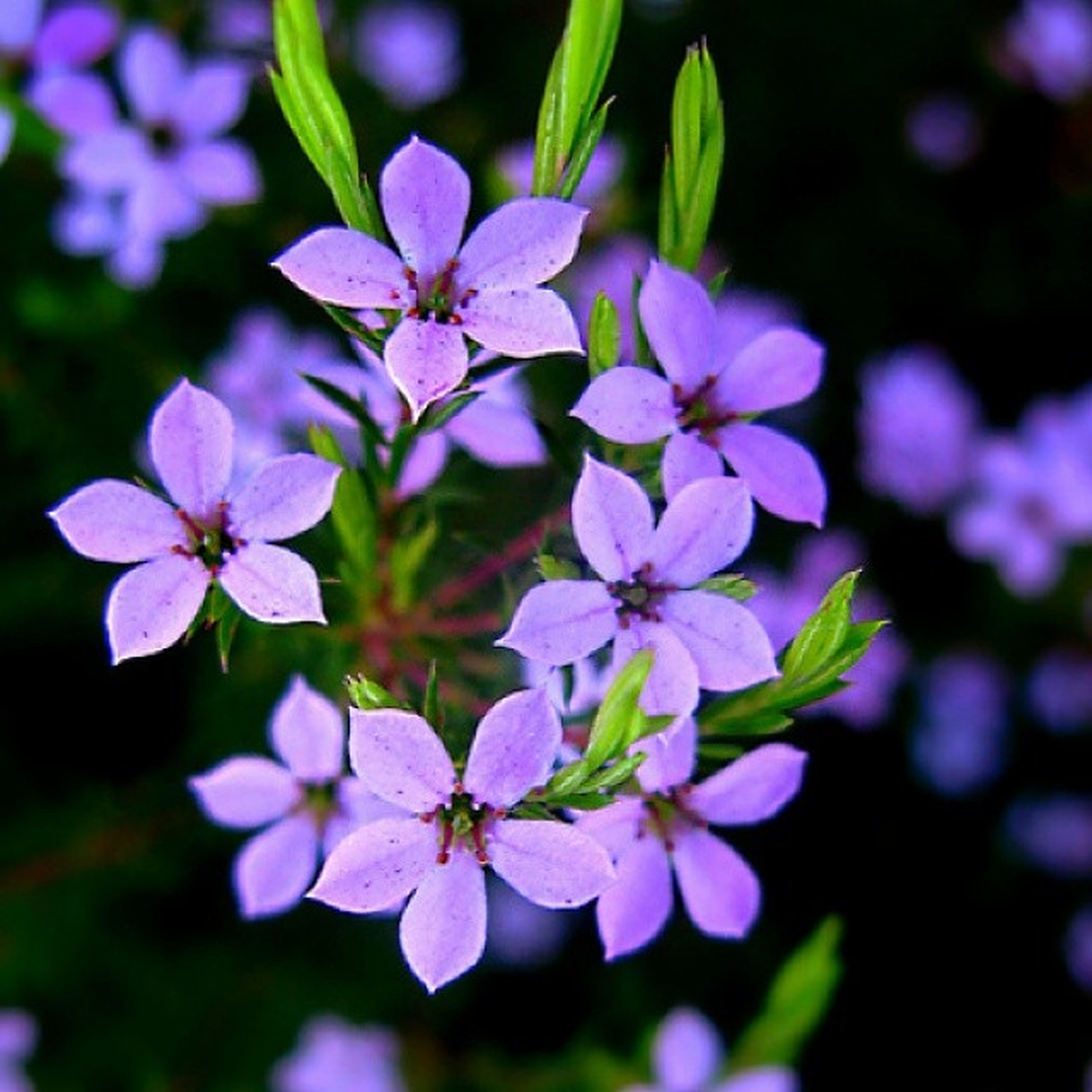 flower, freshness, growth, purple, fragility, petal, beauty in nature, close-up, nature, focus on foreground, flower head, blooming, plant, in bloom, blossom, day, selective focus, outdoors, no people, park - man made space