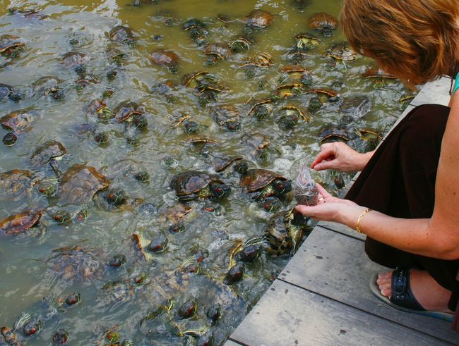 Feeding turtles in the Singapore Chinese gardens Adult Adults Only Day Feeding Animals Leisure Activity Lifestyles Nature One Person One Woman Only Only Women Outdoors People Real People Standing Tourist Activity Tourist Attraction  Travel Turtles Turtles Swimming Water Women
