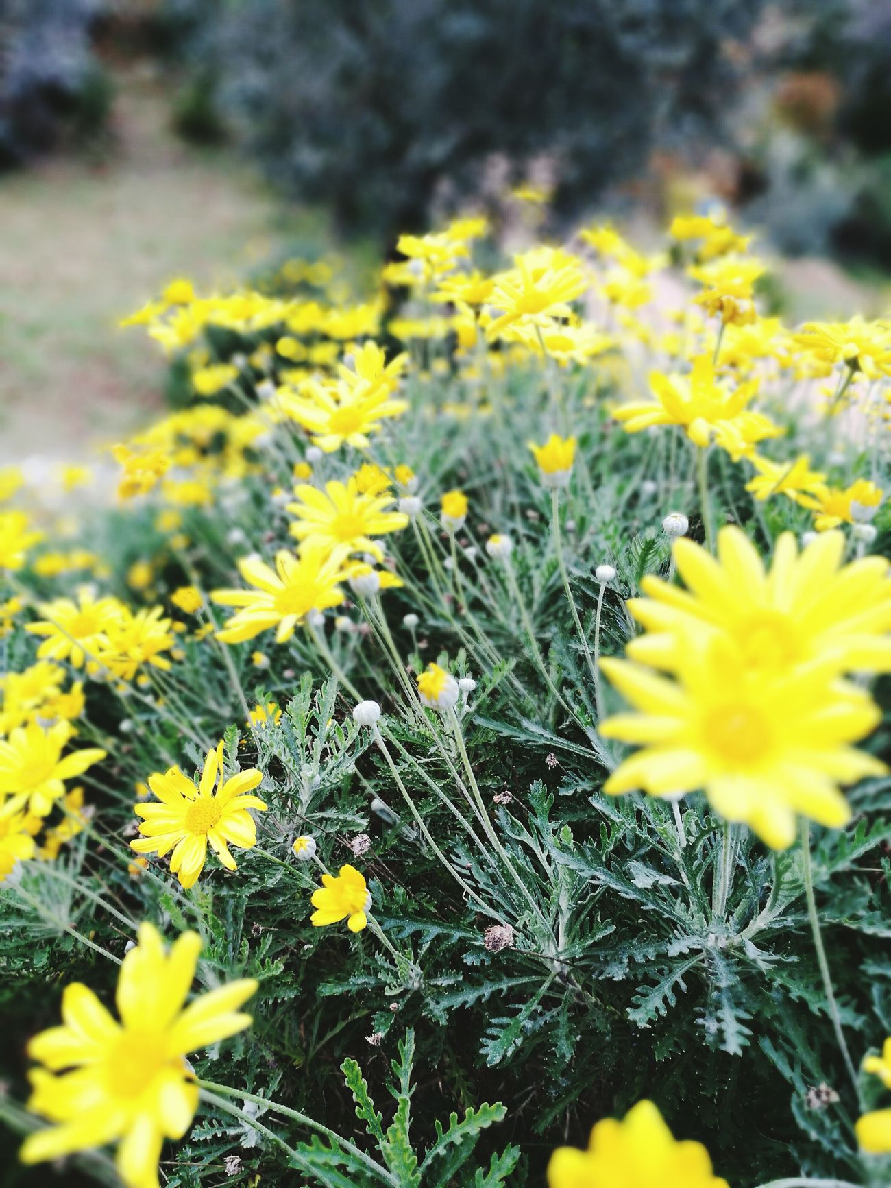 Yellow Flower Nature Landscspe Growth Plant Freshness No People Outdoors Beauty In Nature Close-up Fragility Flower Head Day