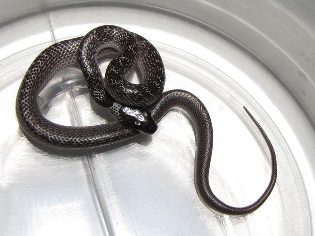 Baby Snake Bathroom Captured Animal Jar One Animal Snake Urban Wolfsnake