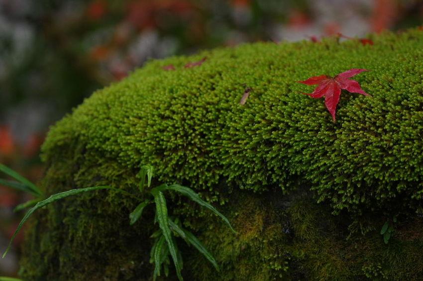 そうだ京都、行こう。 南禅寺 紅葉 紅葉🍁 Nanzenji Temple Autumn Leaves Autumn🍁🍁🍁 Nature Nature Photography Nature Collection Outdoors Beauty In Nature Leaf Maple Leaf Red