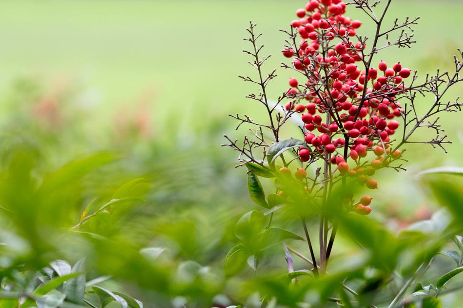 Berries Berries On A Branch Berry Berry Fruit Berrys Bird Food Birds Bokeh Bright Close Up Food Grass Grassland Grassy Green Growing Hawthorn Leaves Lots Many Multiple Natural Nature Red Soil