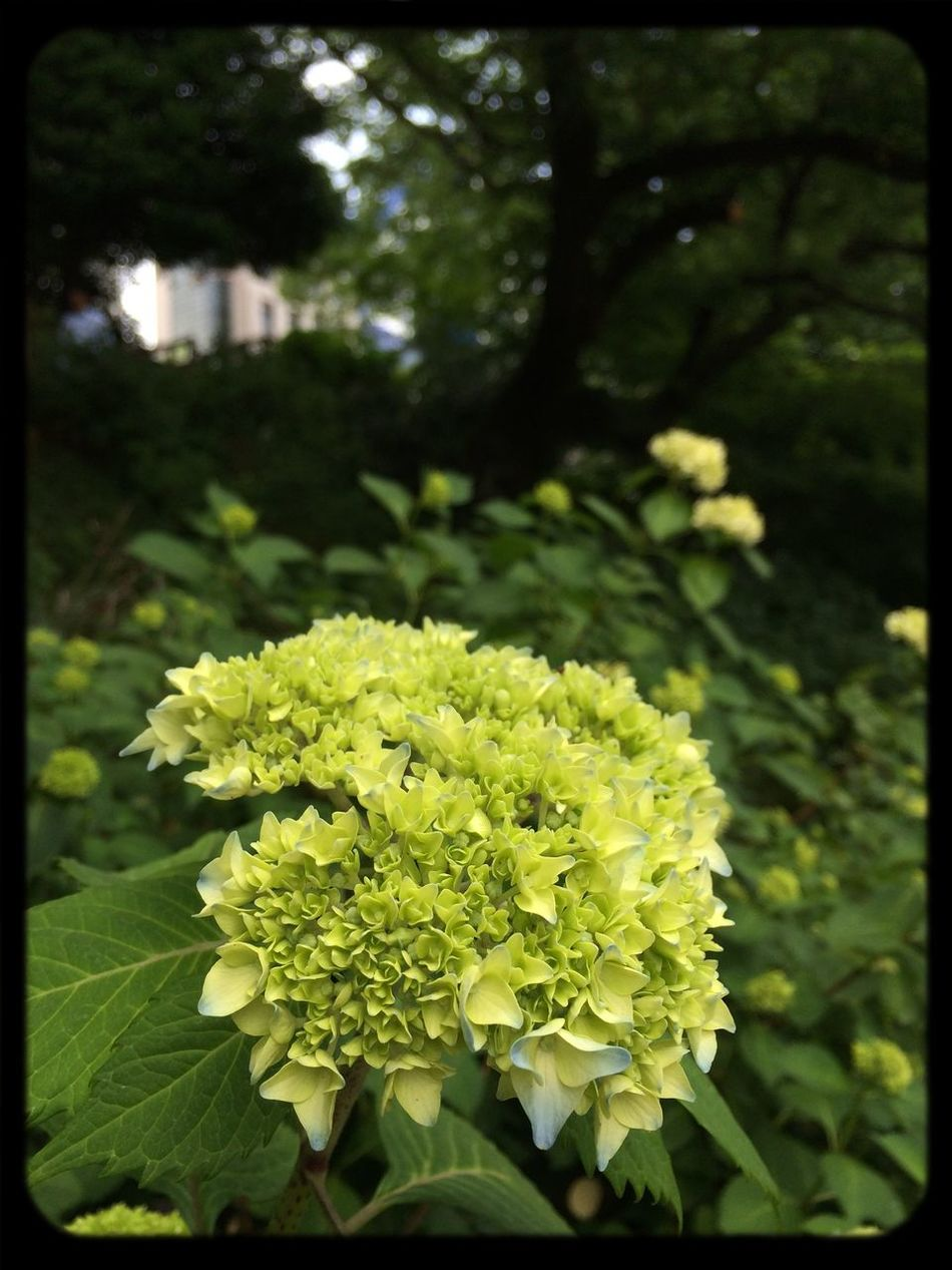 To next stage‼︎ Flowers At The Park Hydrangea 紫陽花