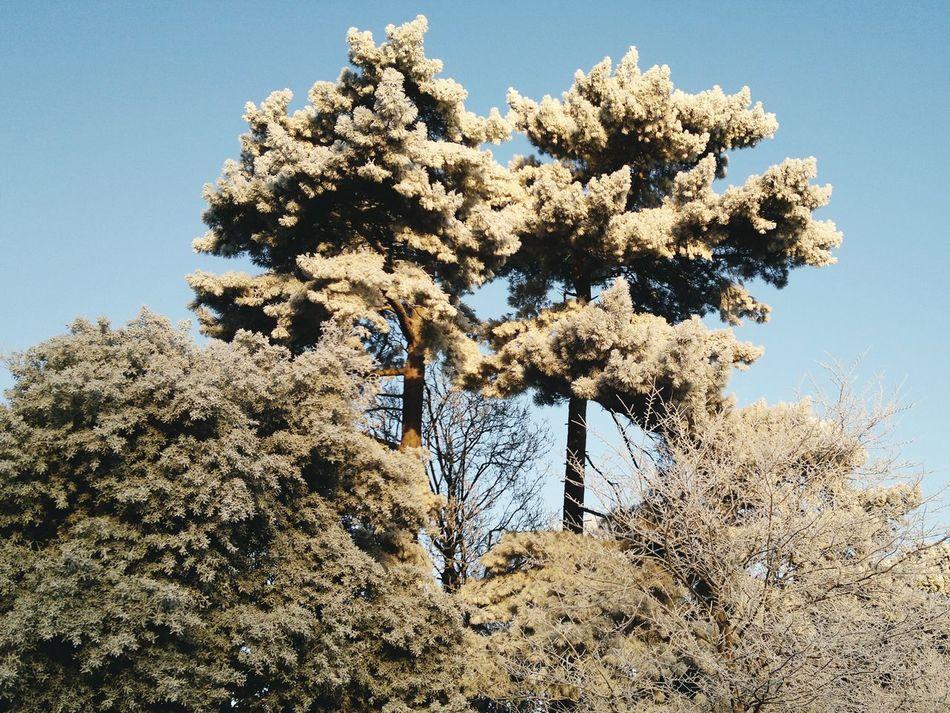 Tree Clear Sky Frosty Ice Wintertime Winter Wonderland Beauty In Nature Sunlight Morning Light Ice Age