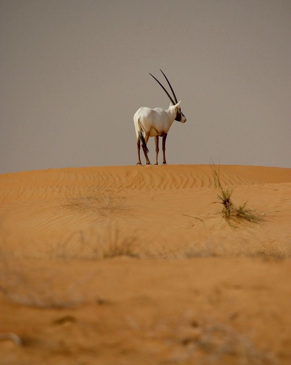 Sand Desert Arid Climate Sand Dune One Animal Nature Animal Themes No People Mammal Tranquil Scene Outdoors Domestic Animals Beauty In Nature Landscape Day Animals In The Wild Nature