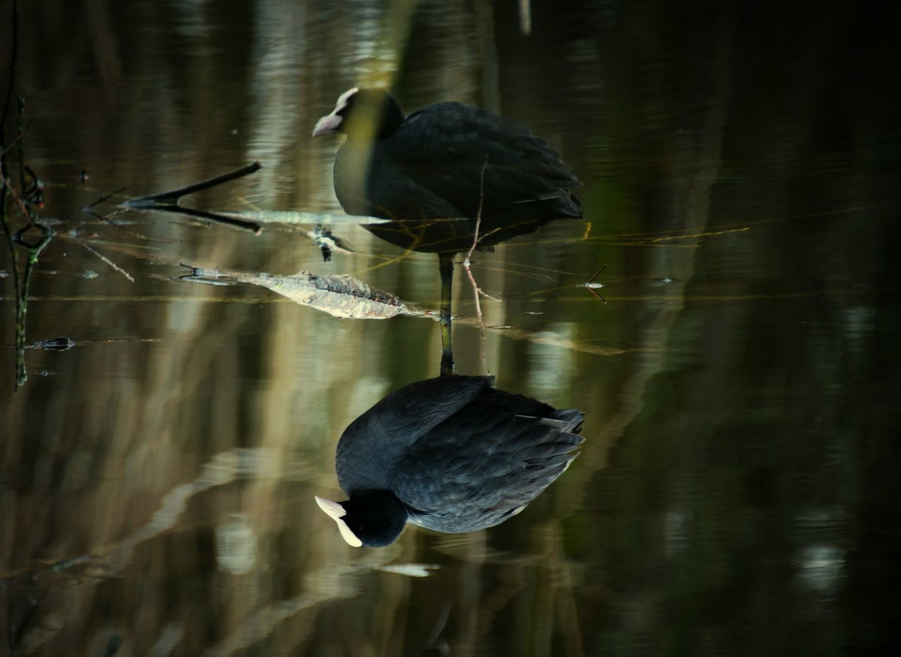 Reflection Animal Wildlife Water Black Color Bird Lake Animals In The Wild Nature No People Animal Themes Close-up Outdoors Upsidedown Wildbird Wildlife Photography Nikonphotography Ornithology  Bestoftheday Awesome_shots BestofEyeEm Naturelovers Awesome_view Austria Reflection