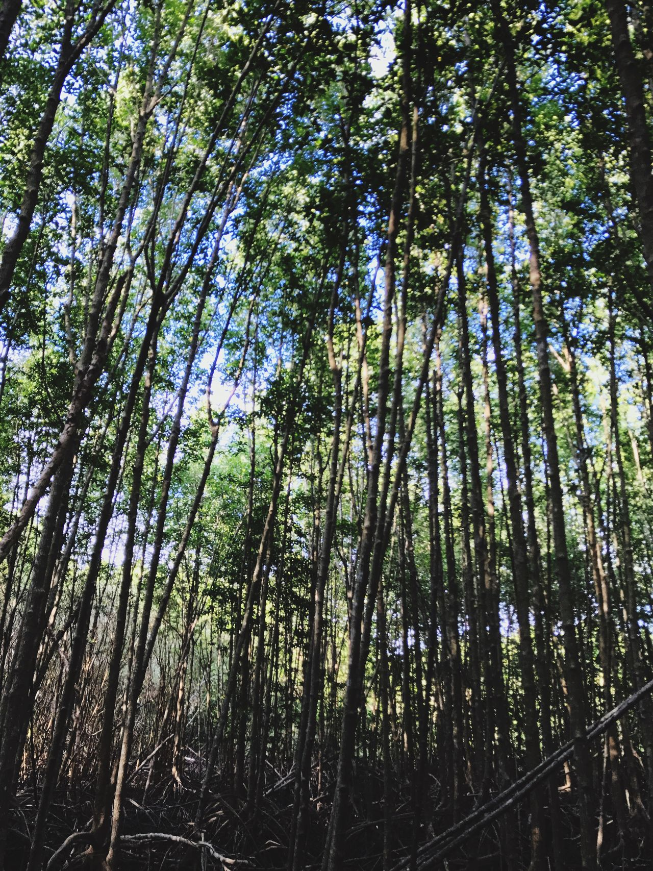 Mangrove Mangrove Forest Mangroves Forest Forest Photography Nature Nature_collection Nature Photography Naturelovers Outdoors Outdoor Photography Tree Trees No People Life Daytime Daylight Blue Sky View Backgrounds