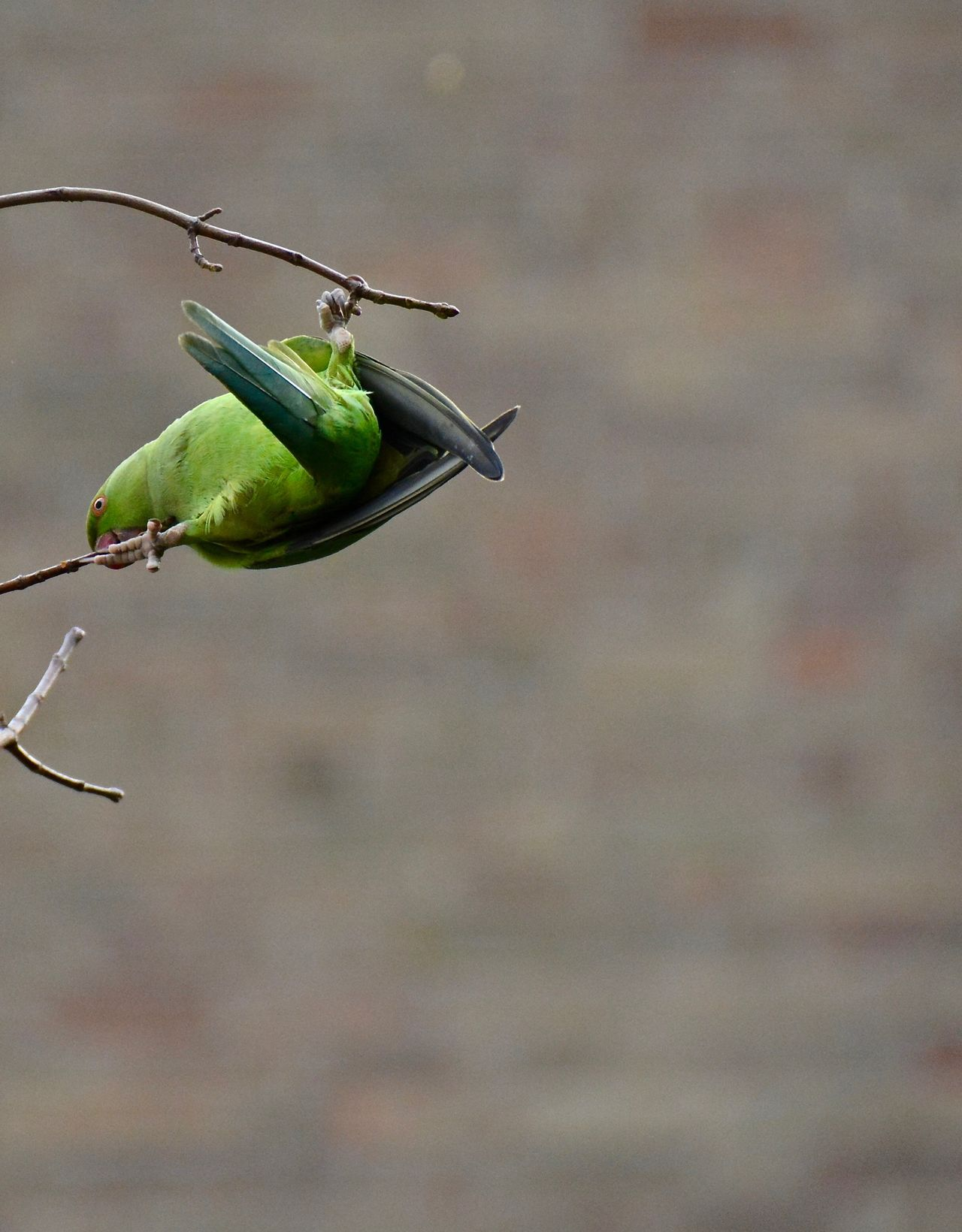 Acrobatics  Trees And Nature Nature Photography Natural Beauty Birds_collection Exotic Creatures Urban Nature Bird Photography RoseRingedParakeet