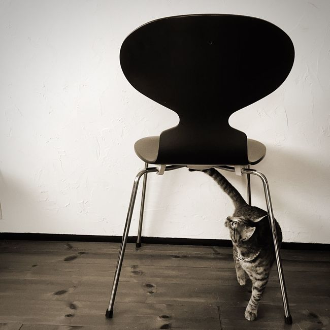 Ant Chair Ant Chair Chair Arne Jacobsen My House Livingroom Cat